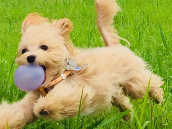 マルプーとはマルチーズとトイプードルのミックス犬