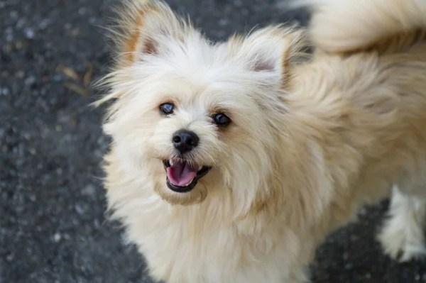 ポメプー(ポメラニアンとプードルのミックス犬)ってどんな犬?