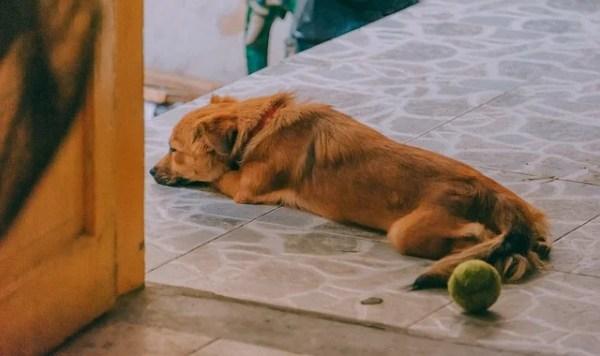 犬の諺 旅の犬が尾をすぼめる