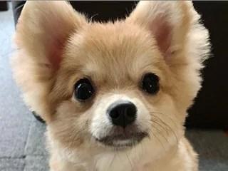 ポメチワ、ポメラニアンとチワワのミックス犬