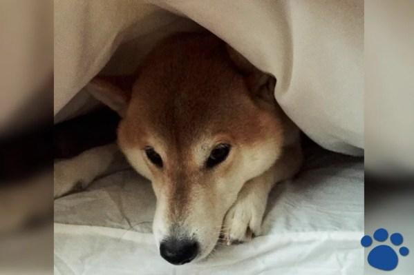 私が柴犬を飼った理由~一人暮らしで犬中心の生活はメリットが多く楽しい