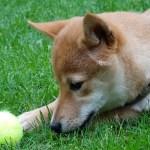 念願の柴犬を飼い夢が叶う~幼いころからの反対されていた犬を飼う願望