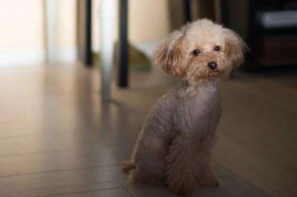愛犬の急な下痢のときなどに人用の腸整剤(ビオフェルミン)で代用できる
