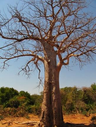 baobab-puu-kestaa-kuivuutta