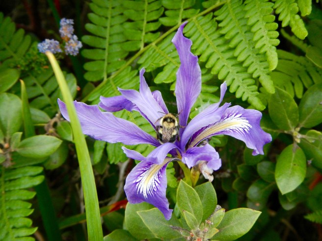 Iris with sleeping bee