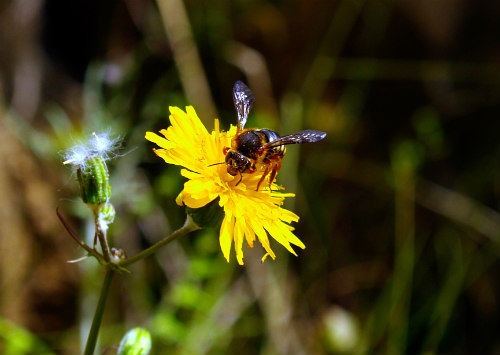 Robo Bees, The Next Step In Pollination?: Bees will possibly get a helping hand soon