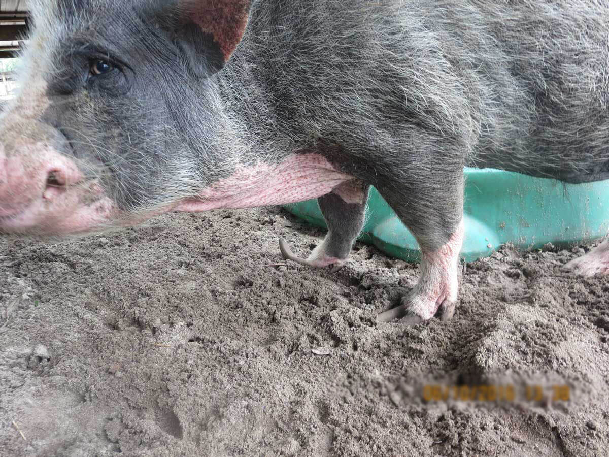 Pigs Starved Mutilated And Left To At Darlynn S