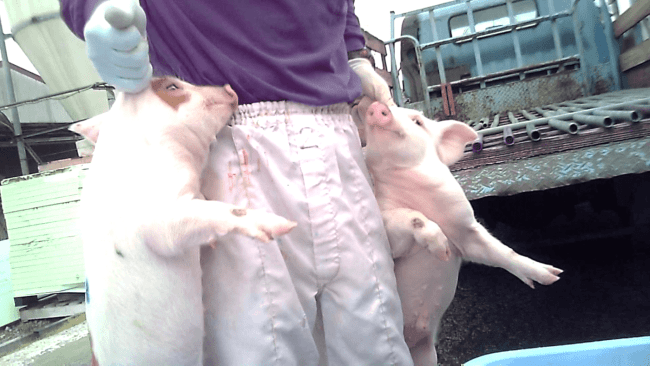 Worker holding piglets by ears at nippon ham