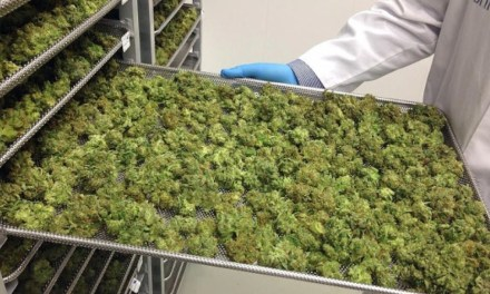 Vancouver Island cannabis growers high on legal pot prospects – CBC.ca