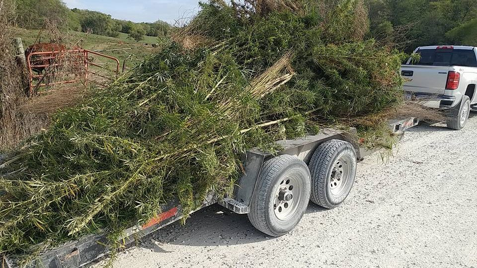 Nearly 500 marijuana plants pulled from patch in Henry County, Iowa – WQAD.com