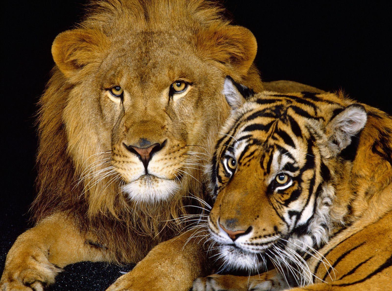 การเชื่อมต่อที่ลวงตาของคำคู่สิงโต - เสือ