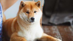 Un'inquadratura ravvicinata di un cane Shiba Inu.