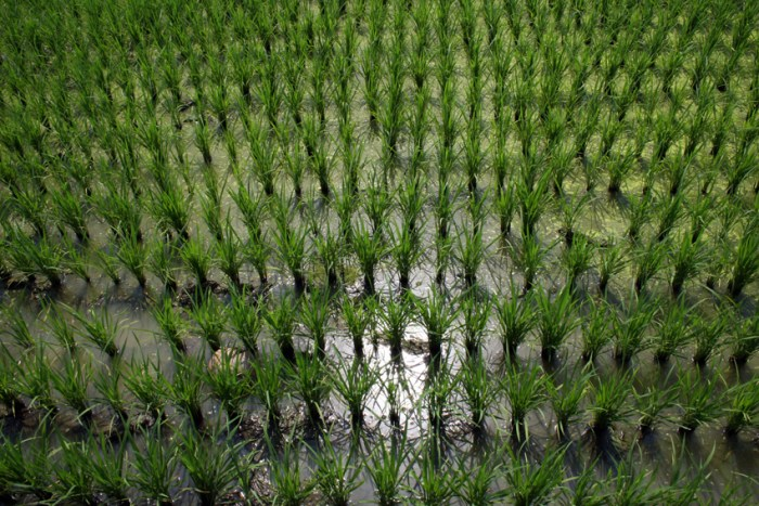 Thai rice farming_Arno Maierbrugger