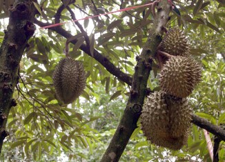 The land where durian and mangosteen grow