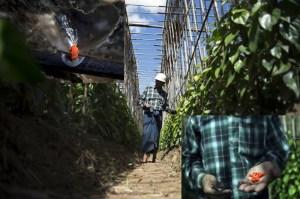 betel-leaf-farm