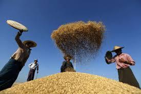 Myanmar rice