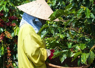 Vietnam's coffee industry turns bitter