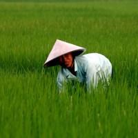 Vietnam paddy field