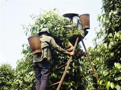 Vietnam is the world's top pepper exporter