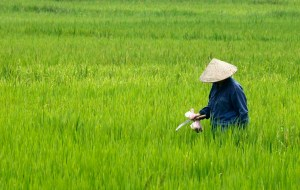 A farmer visits her rice paddy field outside Hanoi