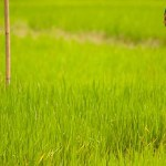 Vietnam lowers 2013 rice export target