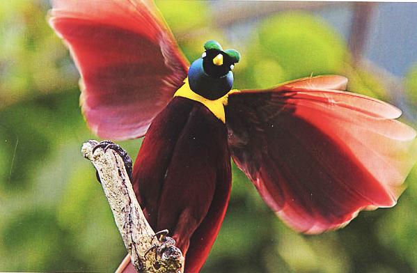 Birds of Paradise in Indonesia