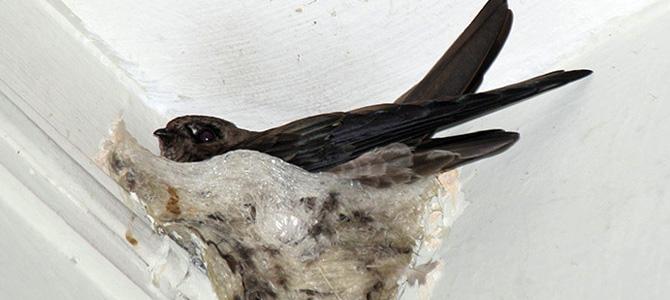Vietnam seeks investors for edible bird's nest industry