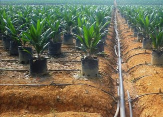 Philippines targets 8 million hectares for palm oil production