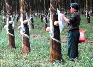 Sri Lankan firm invests in Cambodia rubber plantation