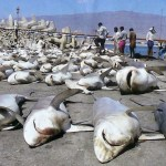 Indonesia and India named world's biggest shark killers