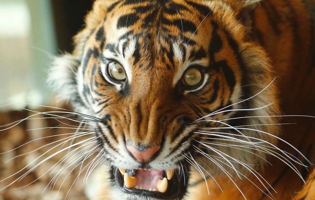 Sumatran tigers trap Indonesian men in tree for 5 days