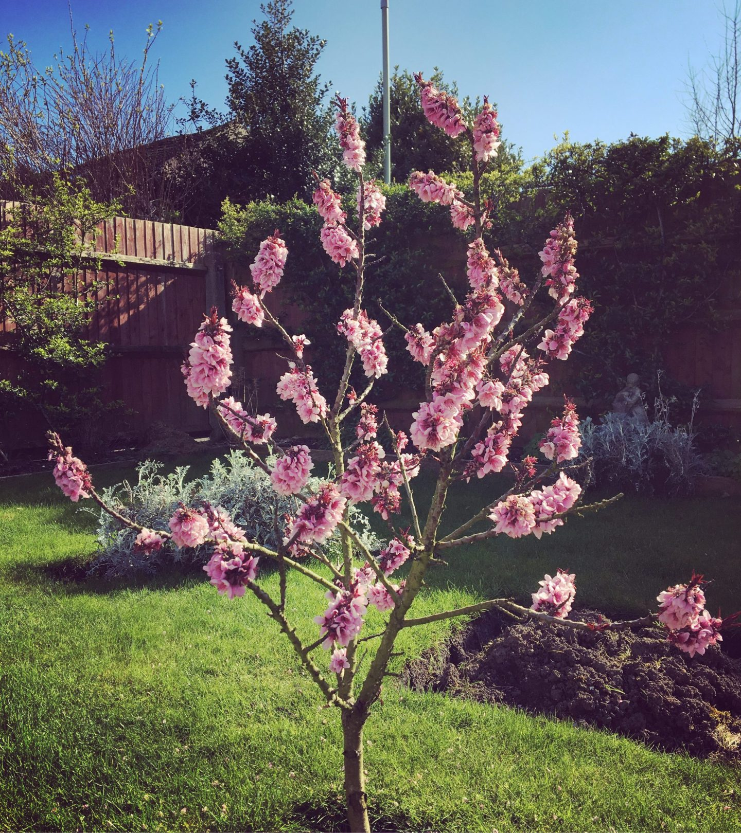 A photo fo a pink blossom flower in the garden.