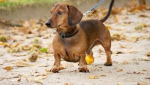Hondenbelasting in Woerden afschaffen