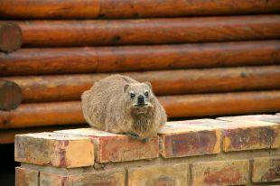 Lontra senza artigli del Capo - Tsitsikamma National Park