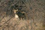 Leonessa al Madikwe Game Reserve
