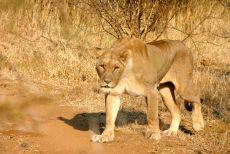 Chaba a caccia - Madikwe Game Reserve
