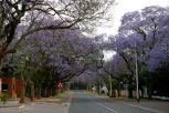 Alberi di Jacaranda a Pretoria