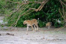 Leopardo con cucciolo al Parco Chobe Botswana