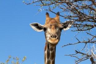 Giraffa Portrait