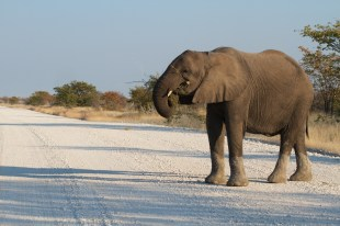 Elefanti intorno a Halali
