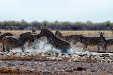 Zebre a Olifantsbad