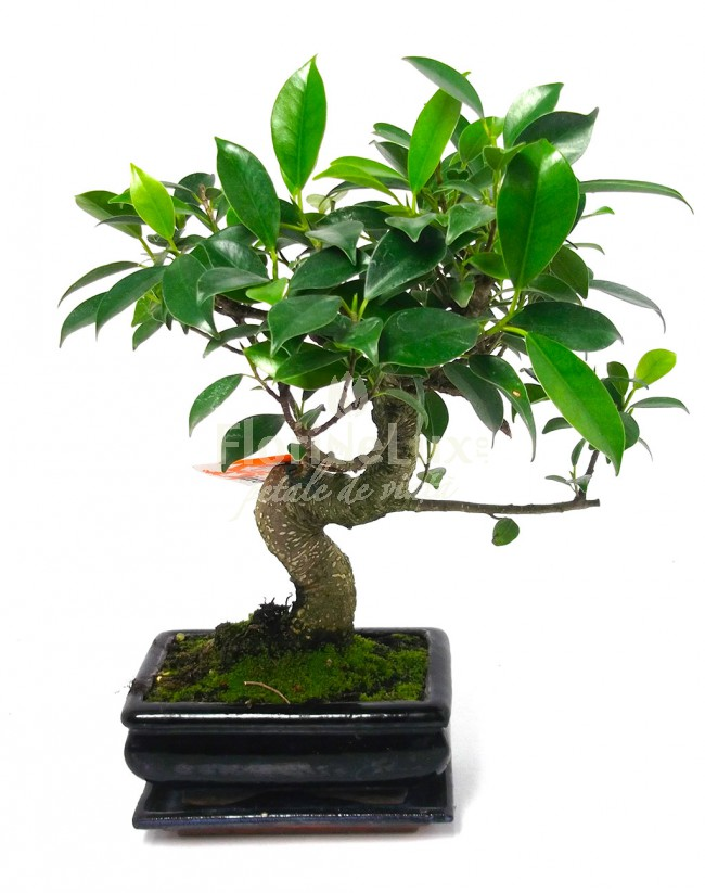 Bonsai pret si disponibilitate