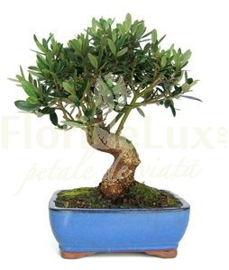 bonsai pret maslin