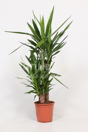 top 5 plante pentru lenesi - yucca