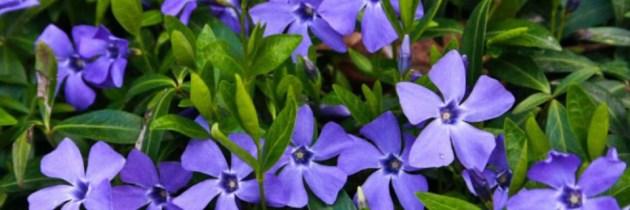 Atentie la terapiile naturiste. Plante medicinale extrem de toxice