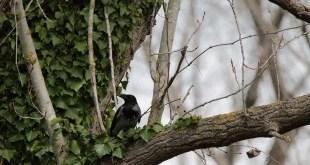 Controllo dei corvidi