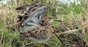 L'ufficio avifauna FIdC ha presentato tre lavori scientifici all'8° Woodcock & Snipe Workshop