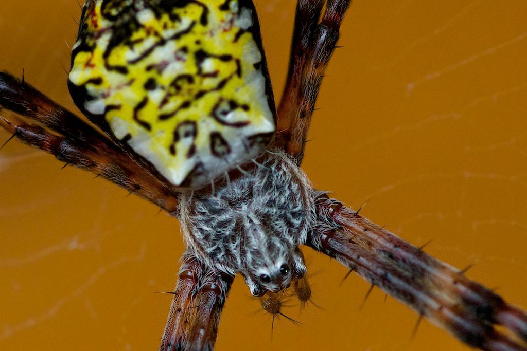 Hawaiian Masked Spider