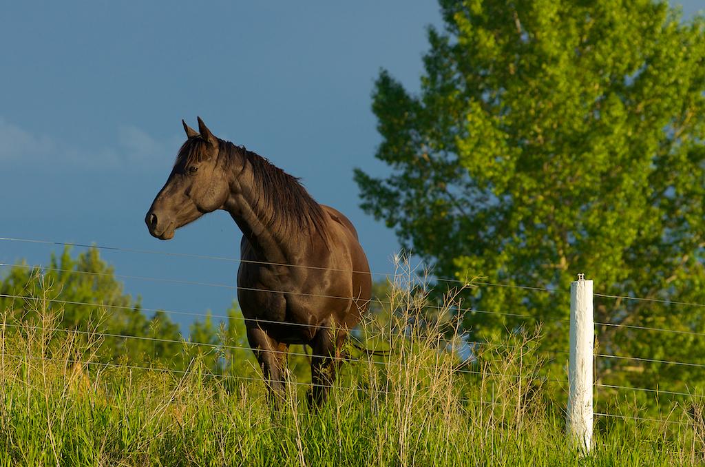 Alberta Horse