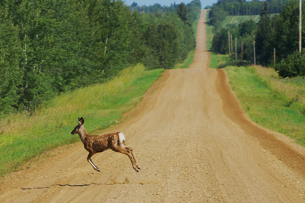 White Tailed Deer Fawn Crossing Road
